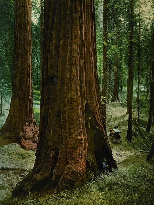 "Mariposa Grove, ""Three Graces,"" Yosemite National Park, California."