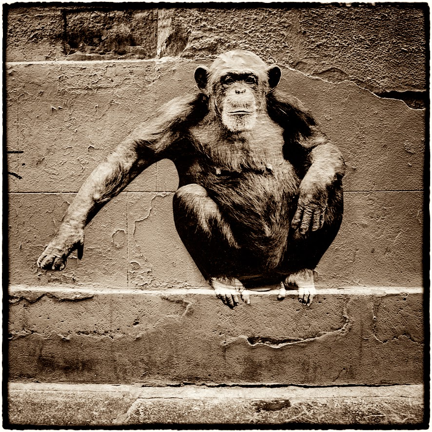 Chimpanze rue Pierre au Lard sophie photographe L